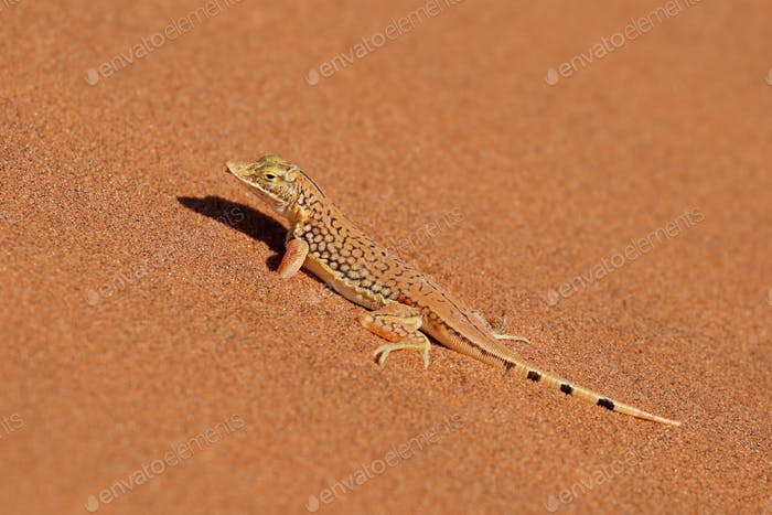 Shovel-snouted lizard on sand