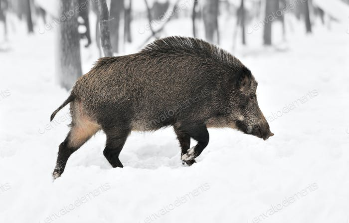 Black and white photography with color wild boar
