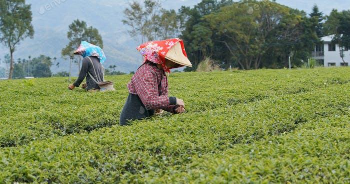 Люди работают на чайной ферме