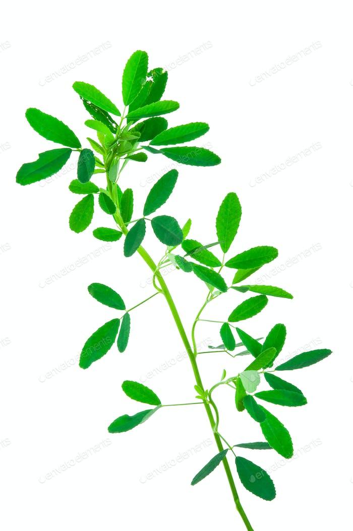 Medicinal plant: Melilotus officinalis (Yellow Sweet Clower)herb