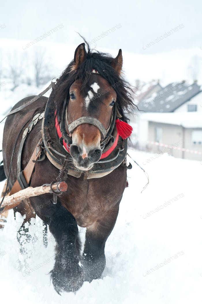 heavy horses in the winter