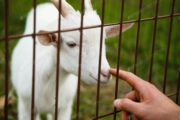 Human get careful for goat