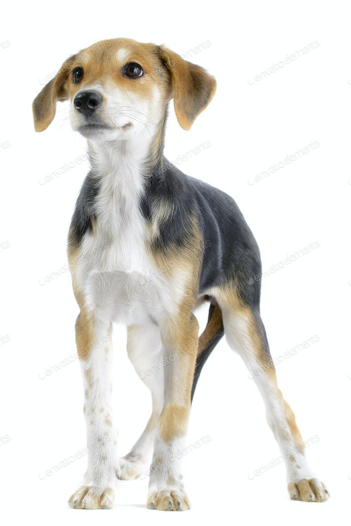 Border Collie/Beagle Mix Welpen