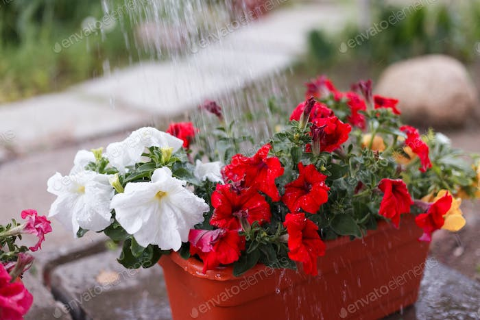 man gardener watering petunia and chrysanthemum flowers in garden