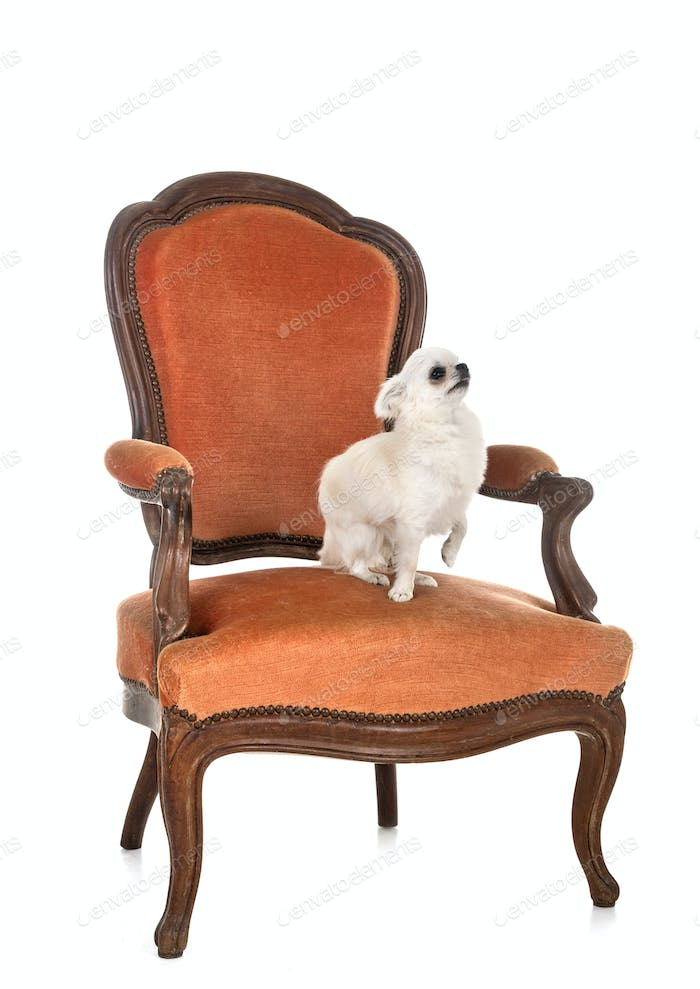 chihuahua on armchair