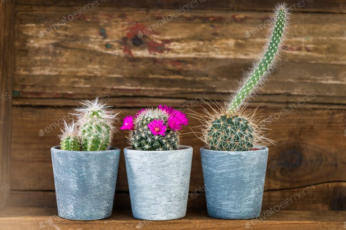 Tiny Cacti in the Pots on Dark Wooden Background