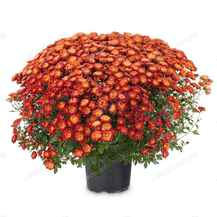 Zweifarbige orange-rote Herbst-Chrysanthemen