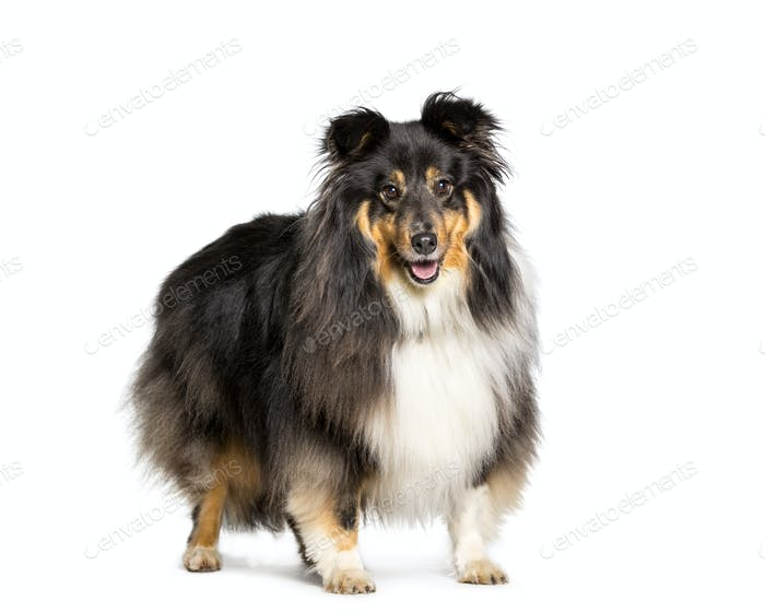 Shetland Sheepdog dog standing, cut out