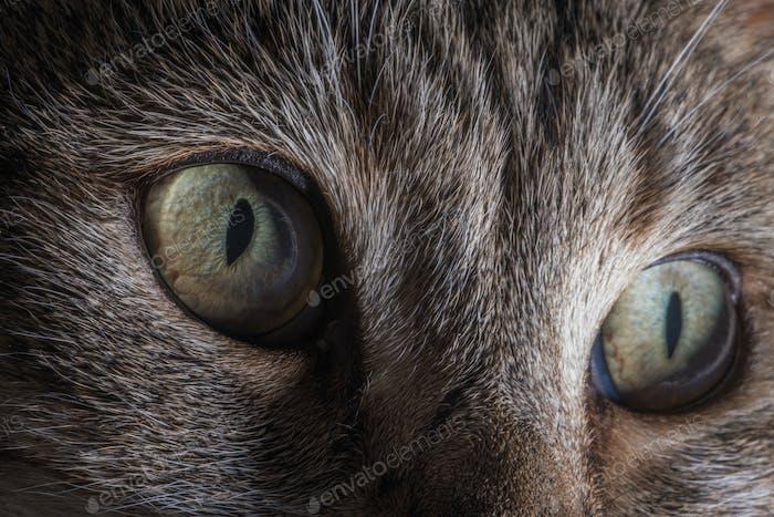 Hauskatzenaugen Detailliertes Nahaufnahme