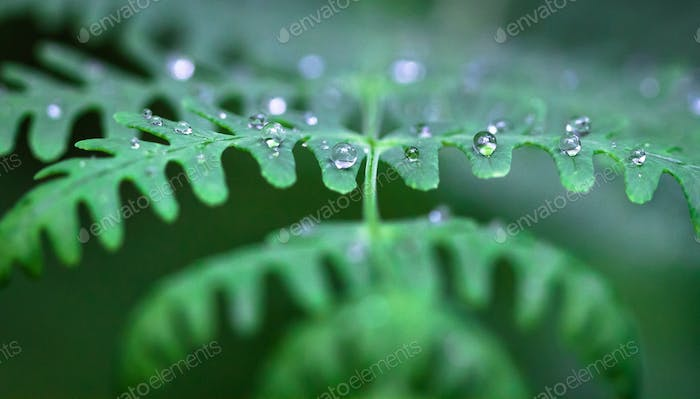 Water Droplets on a Fern