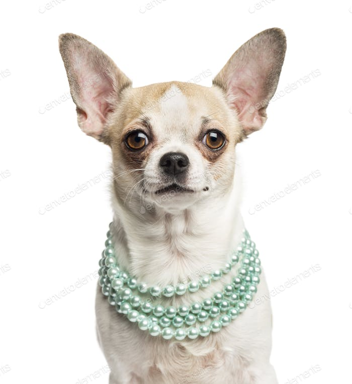 Close-up of a Chihuahua (2 years old) wearing a pearl necklace, isolated on white