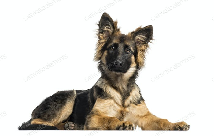 Puppy German Shepherd Dog lying, 4 months old, isolated on white