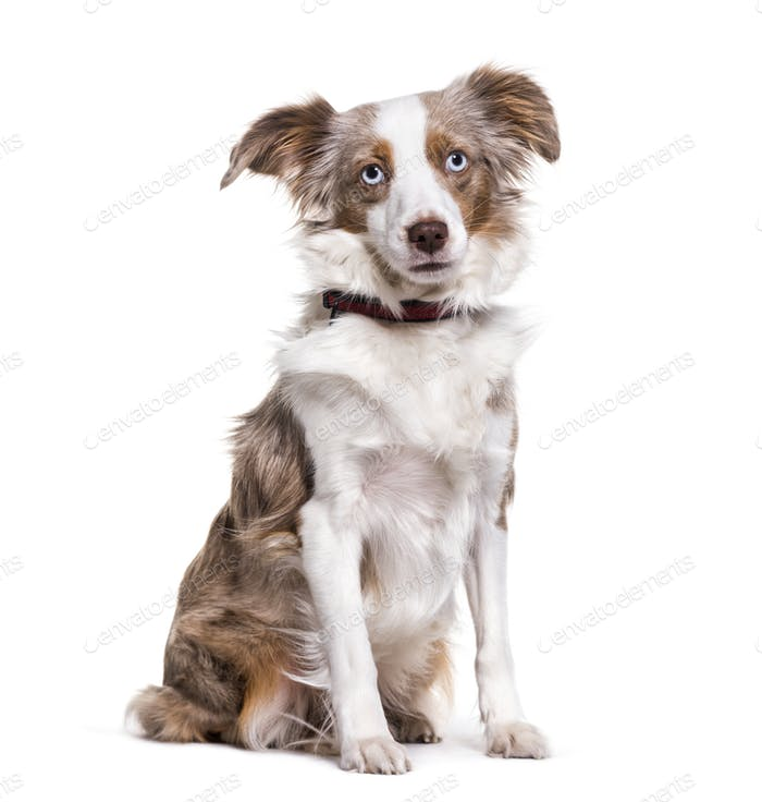 Australian Shepherd dog sitting, cut out