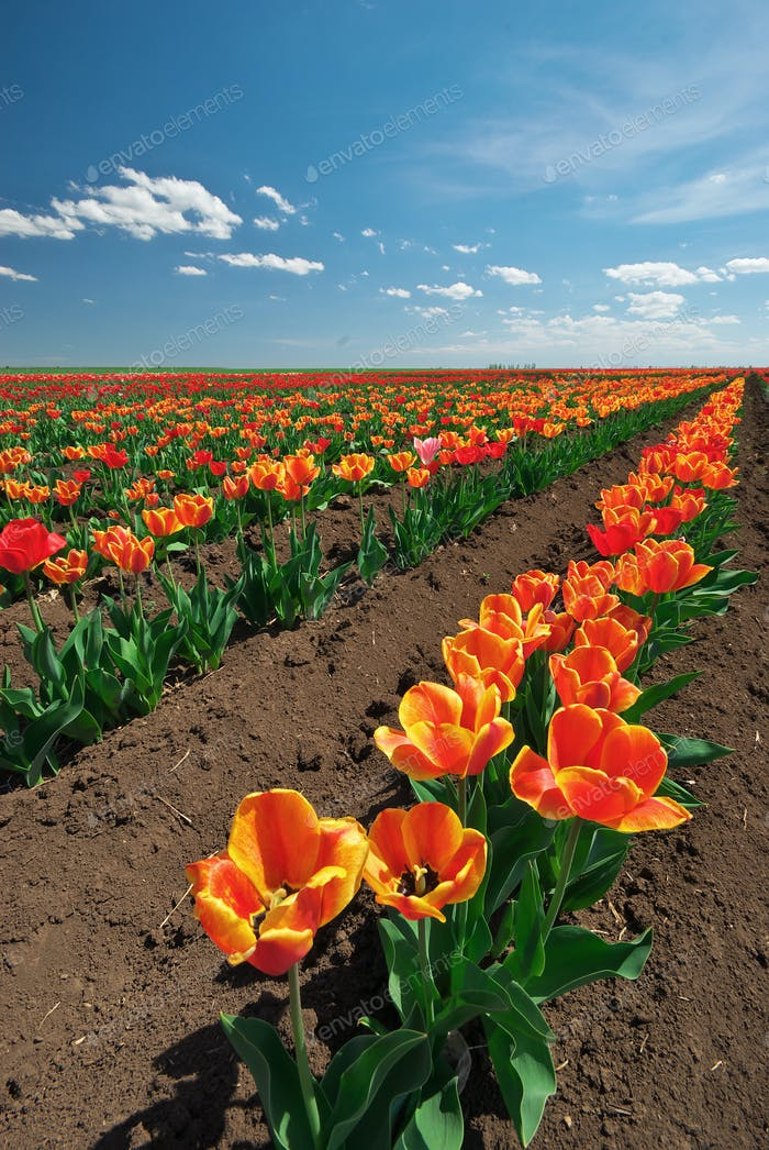 Meadow of tulips.
