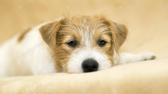 Web banner of a cute happy jack russell terrier pet dog puppy
