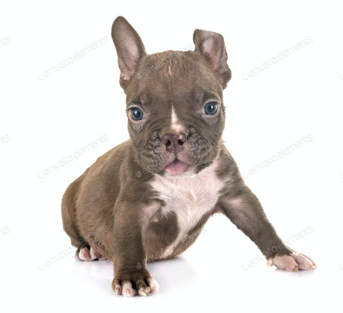 puppy american bully in studio