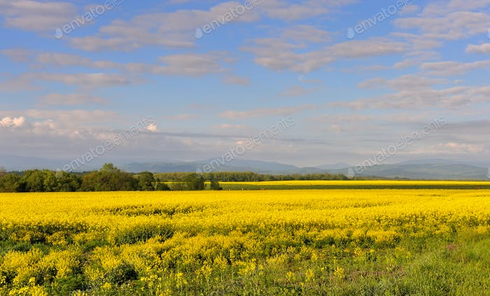 Yellow rapeseed field with beautiful sky. Blooming canola flowers.