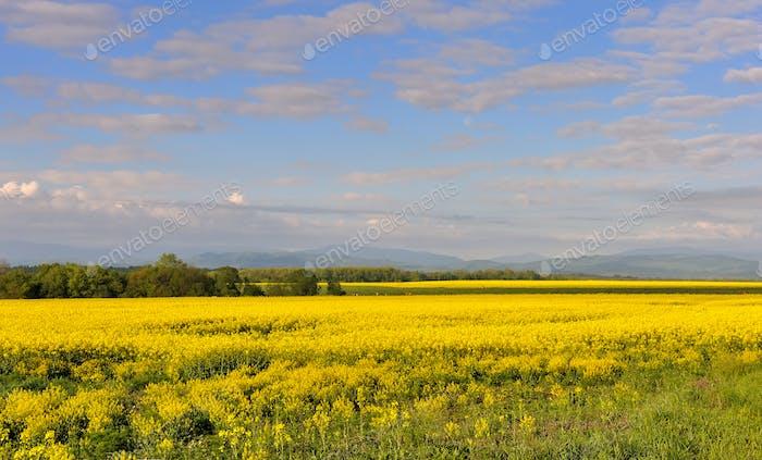 Gelbes Rapsfeld mit schönem Himmel. Blühende Rapsenblüten.