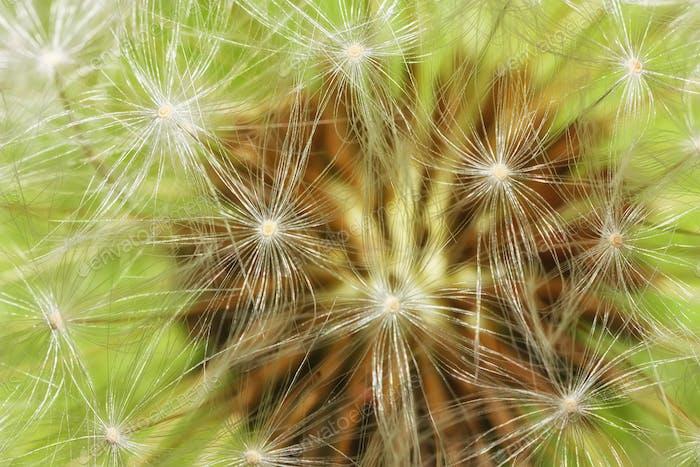 Dandelion abstract closeup