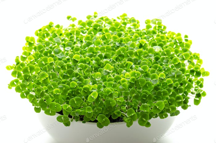 Basil microgreens in white bowl over white