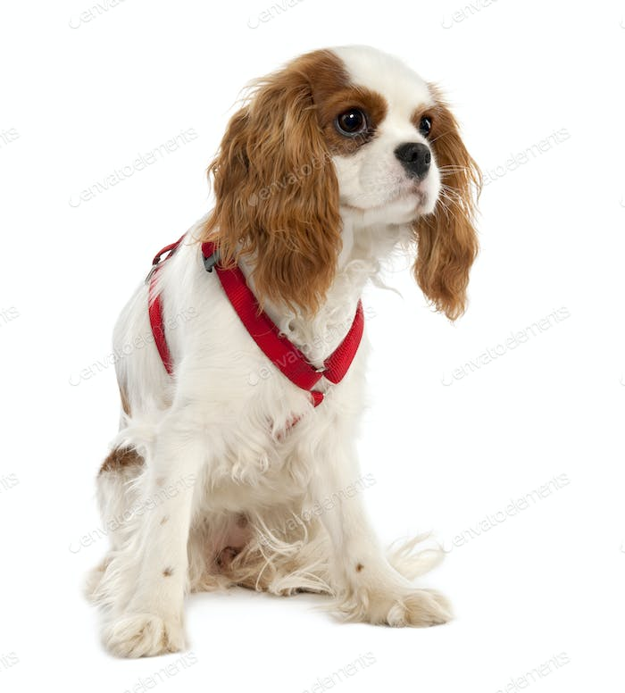 Cavalier King Charles Spaniel puppy (7 months old)