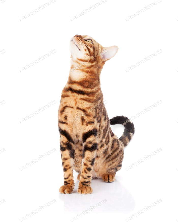 Bengal cat looking up