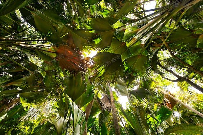 Coco de Mer Palmen