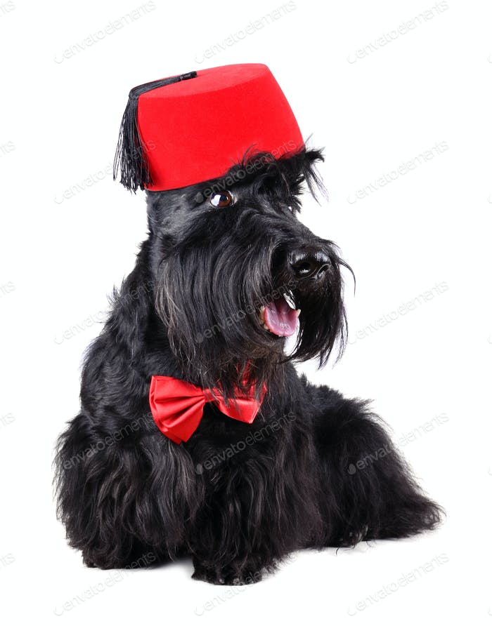 Dog in fez
