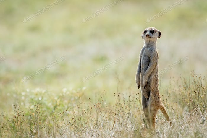 Meerkat on the look out.