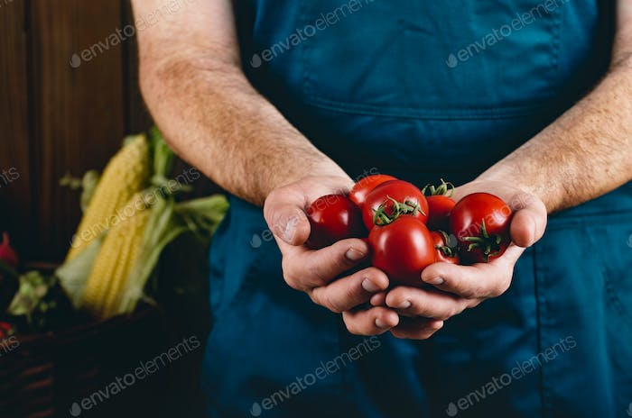 Farmer hold fresh organic tomatoes in his hands. Vegetable harve