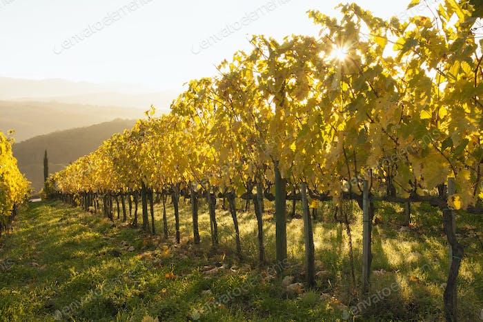 Sonnenaufgang über einem Weinberg im Herbst. Lebhaft gelbe Blätter auf den Reben.