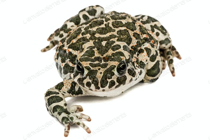 Toad green, lat. Bufo viridis, isolated on white background
