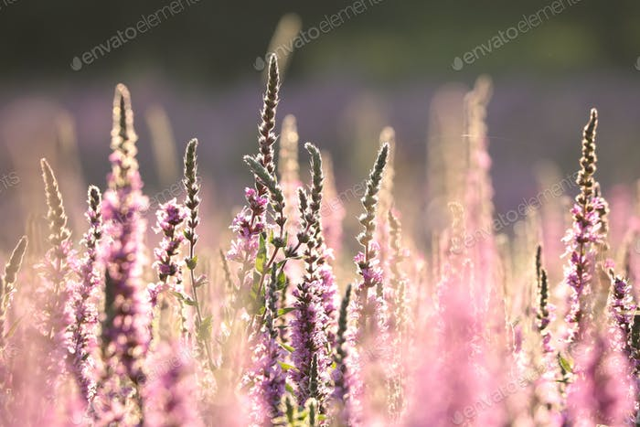 Loosestrife on a meadow at sunrise