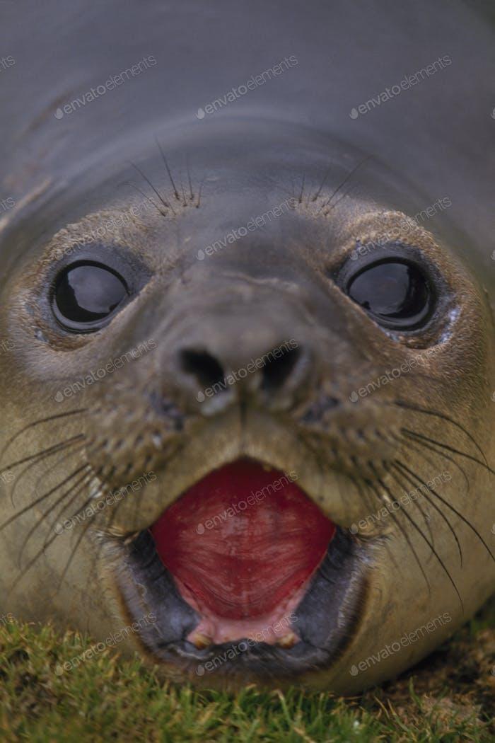 Elephant seal pup calling, Mirounga leonina, South Georgia Island