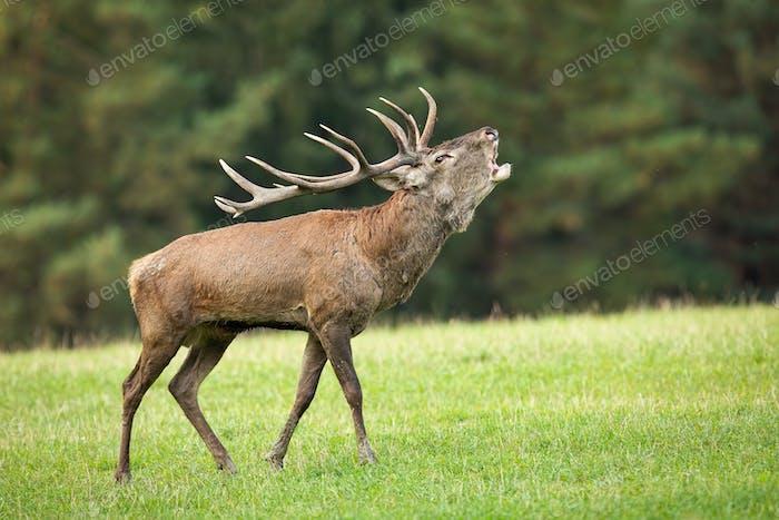 Territorial red deer stag roaring on meadow in autumn