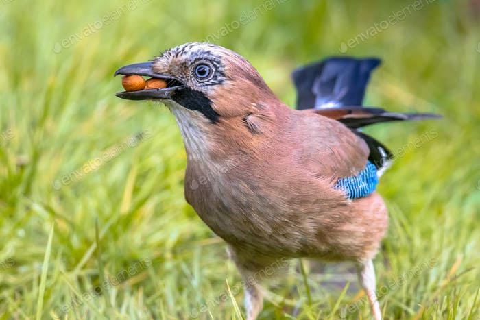 Eurasian jay in grass with nuts