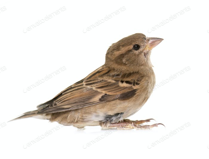House sparrow in studio