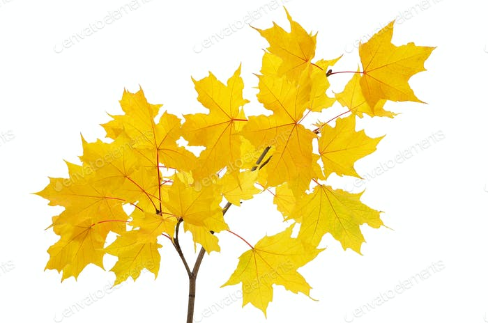 Maple branch with bright yellow leaves