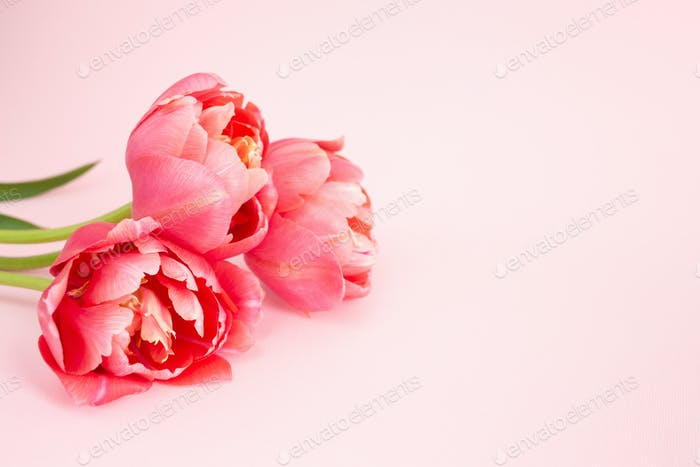 Bouquet of Pink Peony Tulips on Pink Background.