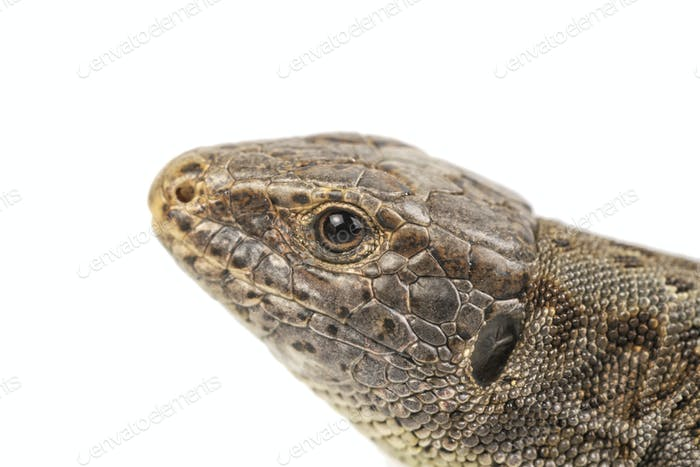 Head of lizard (Lacerta agilis) on a white background