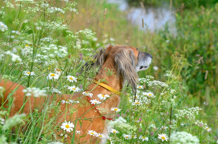 Saluki dog in wildflowers