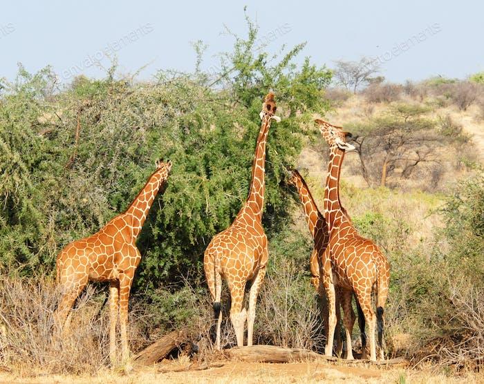 Group of giraffes eating trees