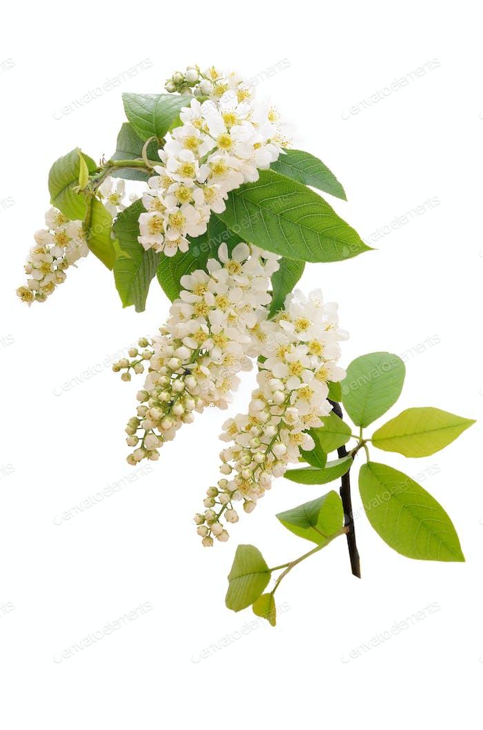 The branch of bird-cherry tree