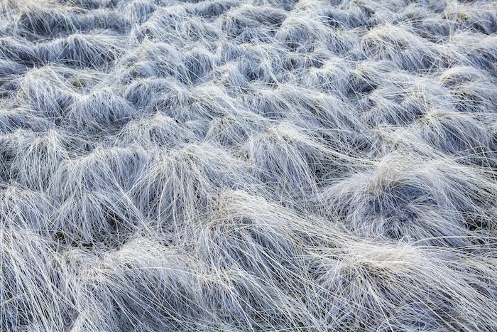 Frost covered wild grasses