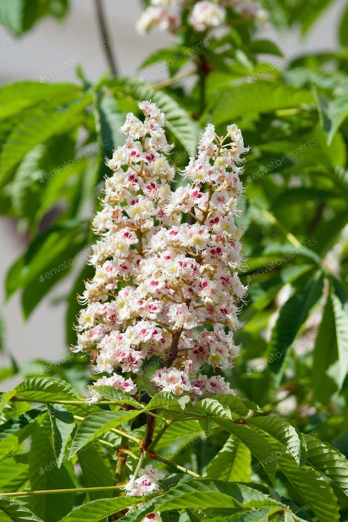 Flowering branches of chestnut (Aesculus hippocastanum)