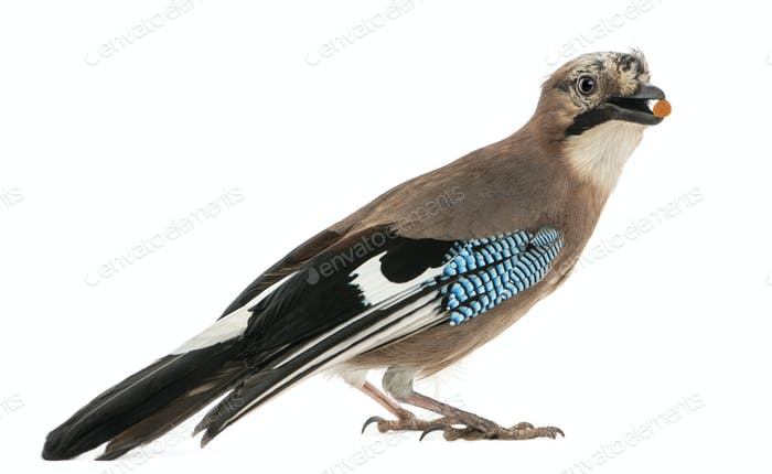 Side view of an Eurasian Jay with food in the beak, Garrulus glandarius, isolated on white