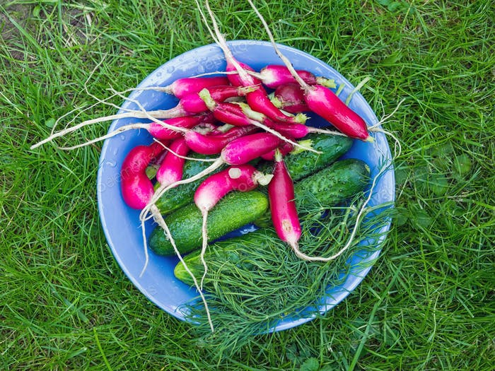 A bawl of fresh garden vegetables: radish, cucumbers and dill
