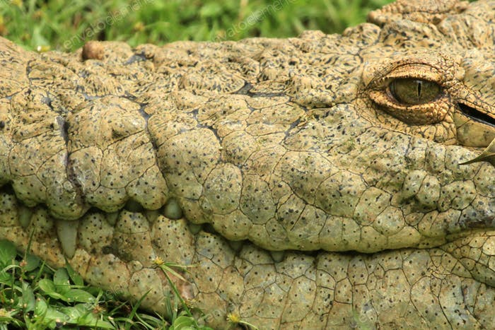 Crocodille - African Wildlife