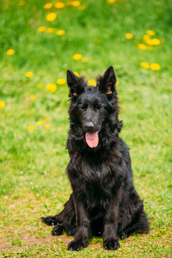 Black German Shepherd Dog Sit In Green Grass. Alsatian Wolf Dog