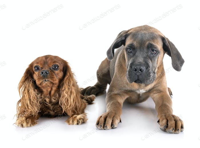 puppy cane corso and cavalier king charles